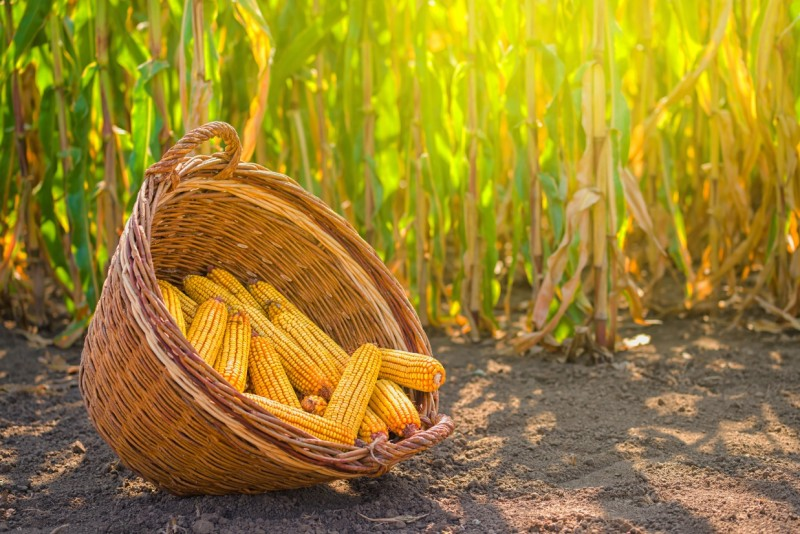 pakowanie sieczki z kukurydzy w rękaw