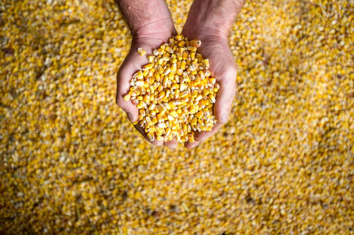 .Jak zakiszać ziarno kukurydzy w rękawie ?